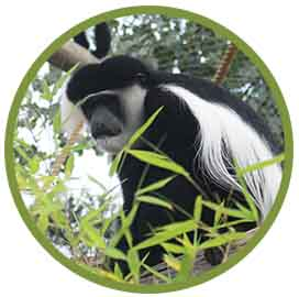 Colobus circle