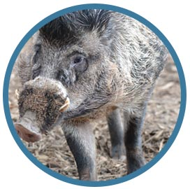 Half width image warty pigs 1