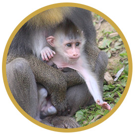 baby mandrill small
