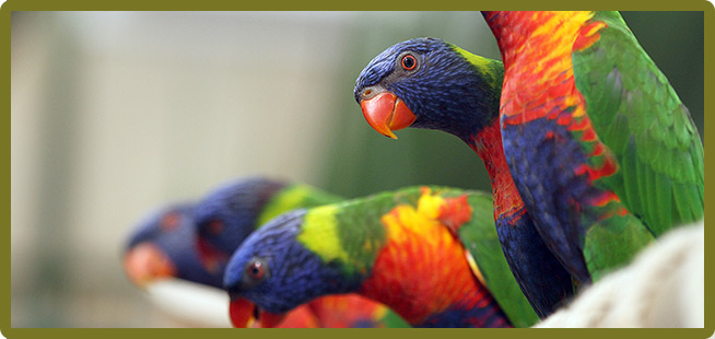 lorikeets count