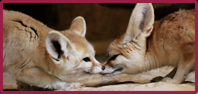 share the love fennec fox